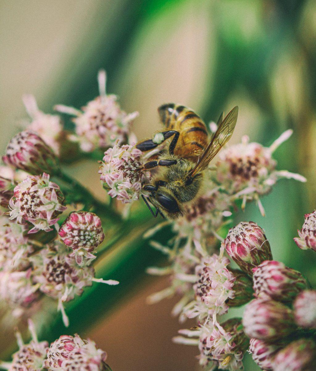 abeille-oleron-nectar-pertuis